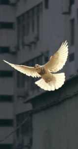 cooperans-colombe